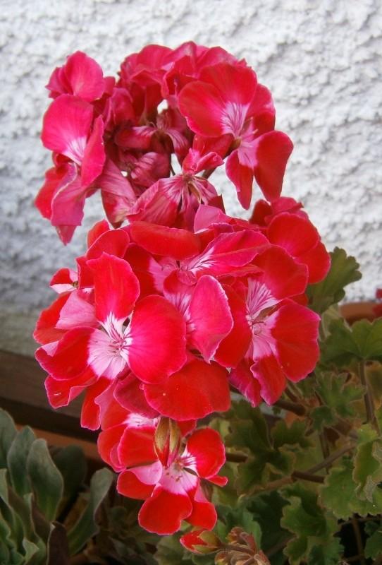 Pelargonium - Pelargonien - alle nichtsukkulenten Arten und Sorten - Aussaat - Stecklinge - Seite 2 Pelarg15