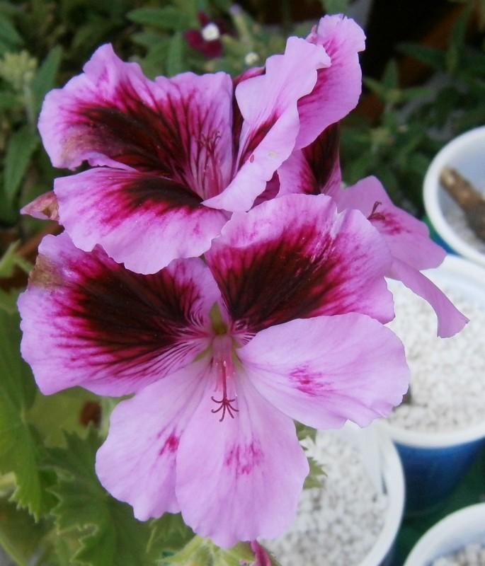 Pelargonium - Pelargonien - alle nichtsukkulenten Arten und Sorten - Aussaat - Stecklinge - Seite 2 Pelarg17