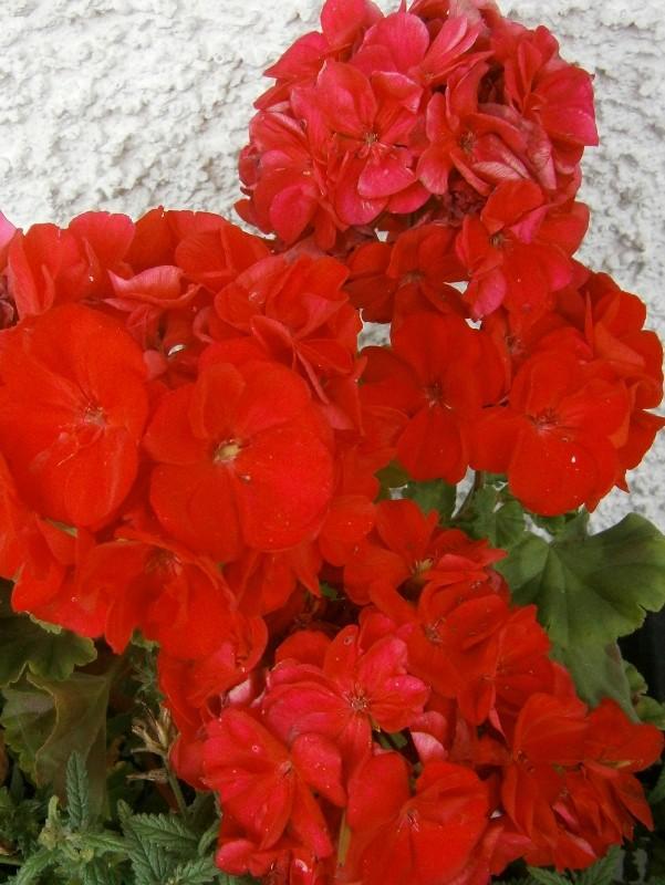 Pelargonium - Pelargonien - alle nichtsukkulenten Arten und Sorten - Aussaat - Stecklinge - Seite 2 Pelarg18
