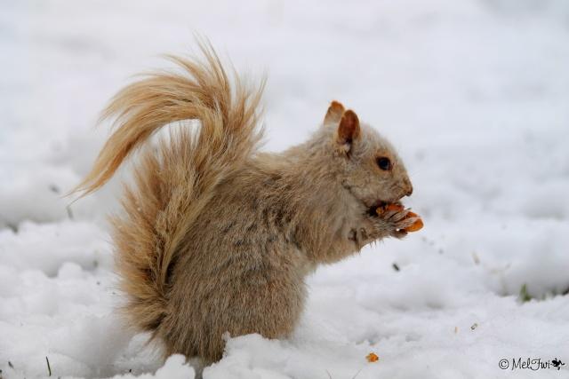 Écureuil blanc  023b11