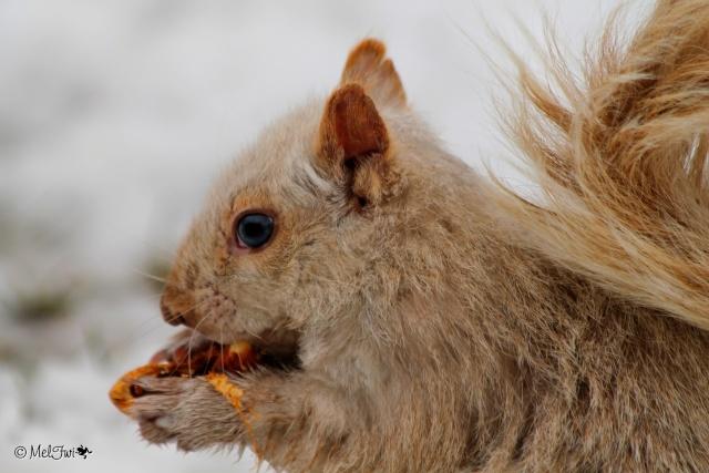 Écureuil blanc  024b10