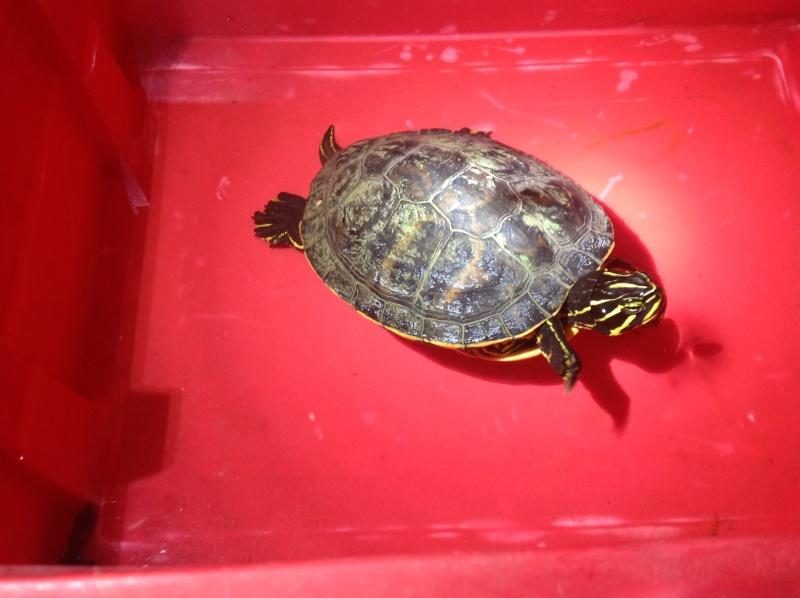 Besoin d'avis pour identifier ces 3 bb tortues aquatiques 12010