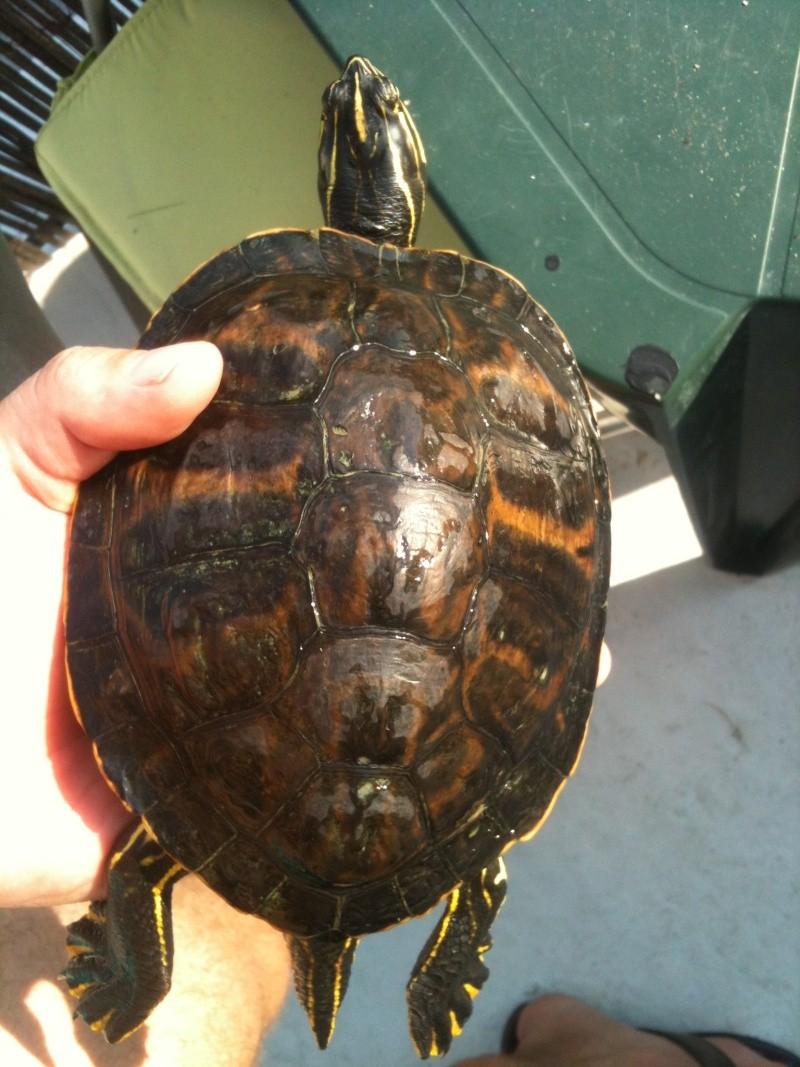 Besoin d'avis pour identifier ces 3 bb tortues aquatiques 15310