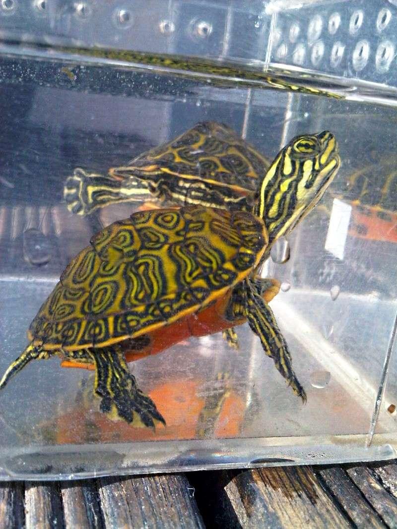 Besoin d'avis pour identifier ces 3 bb tortues aquatiques Img00117