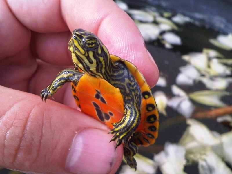 Besoin d'avis pour identifier ces 3 bb tortues aquatiques Img00118