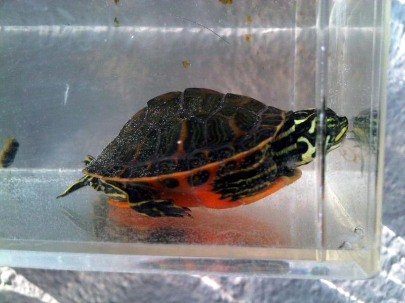 Besoin d'avis pour identifier ces 3 bb tortues aquatiques Img00119