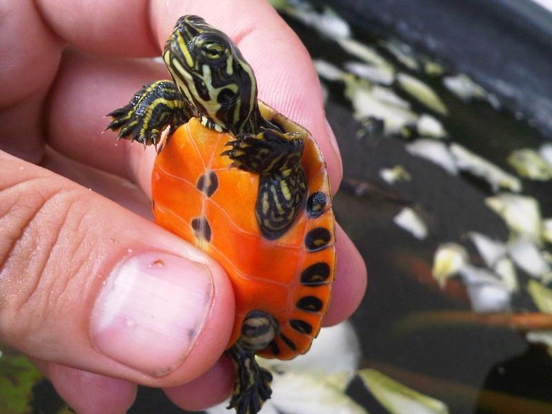 Besoin d'avis pour identifier ces 3 bb tortues aquatiques Img00120