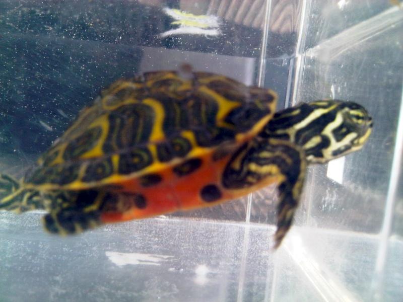 Besoin d'avis pour identifier ces 3 bb tortues aquatiques Img00121