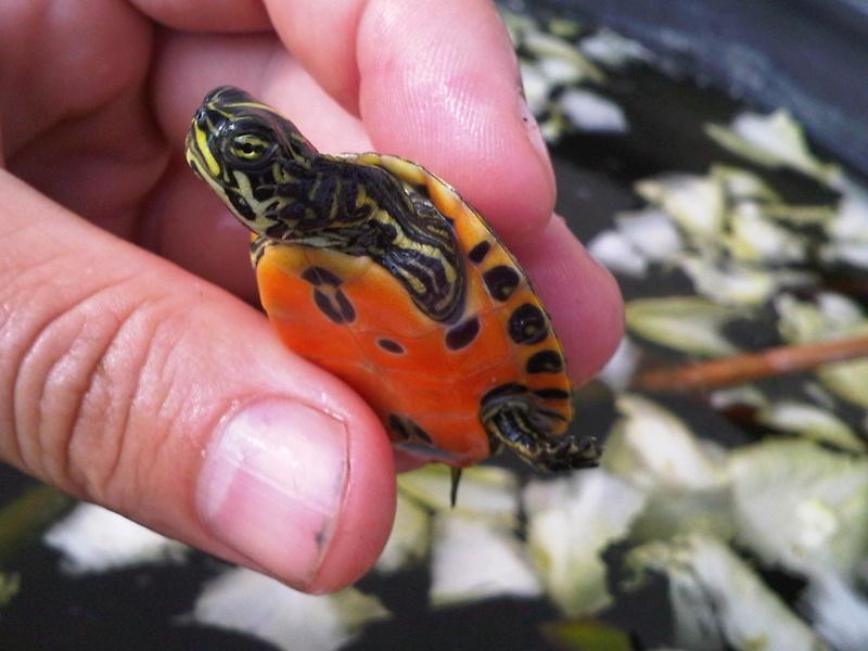 Besoin d'avis pour identifier ces 3 bb tortues aquatiques Img00122