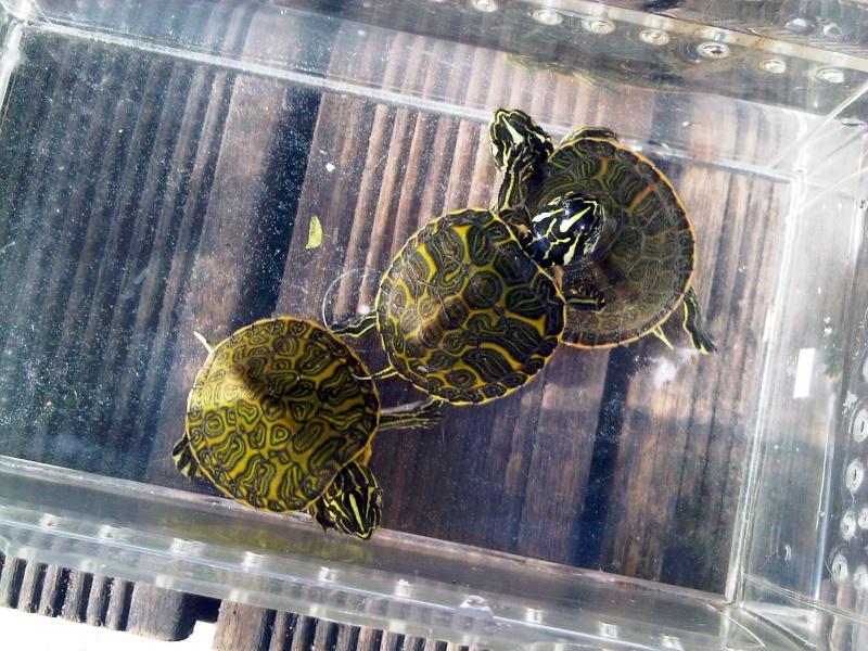 Besoin d'avis pour identifier ces 3 bb tortues aquatiques Img00123