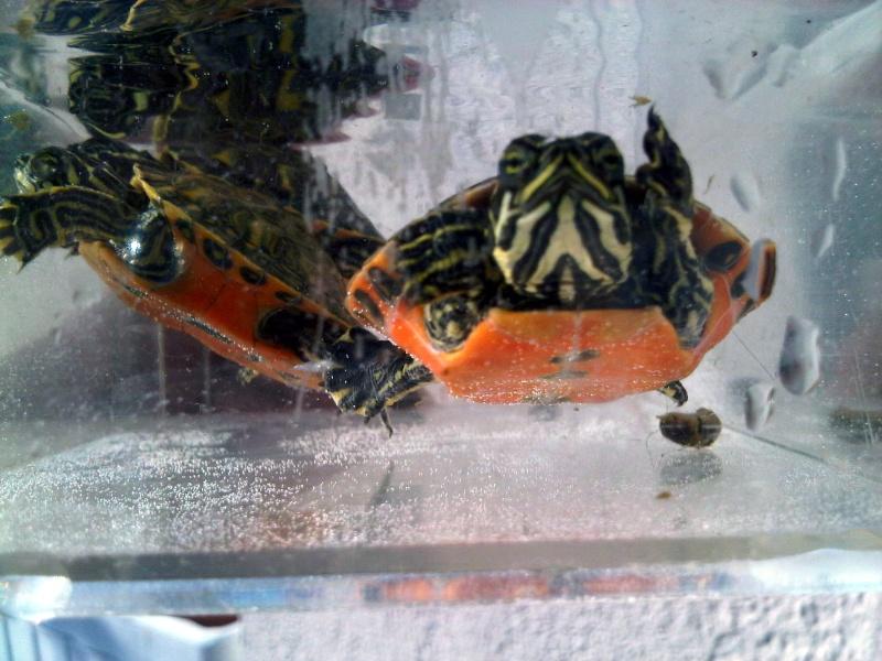 Besoin d'avis pour identifier ces 3 bb tortues aquatiques Img00124