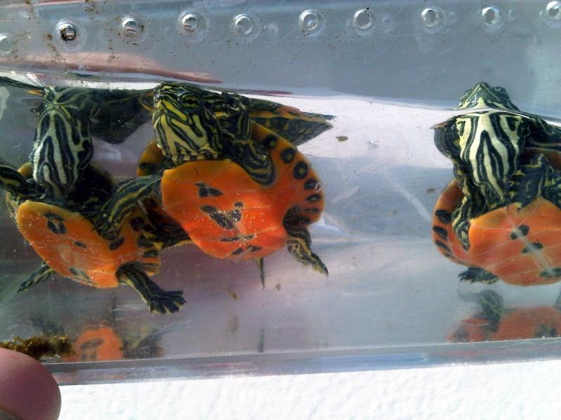 Besoin d'avis pour identifier ces 3 bb tortues aquatiques Img00125
