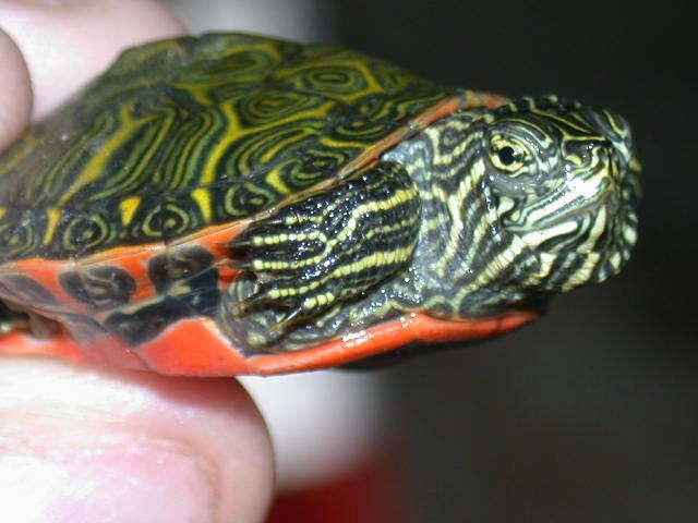 Besoin d'avis pour identifier ces 3 bb tortues aquatiques Northe10