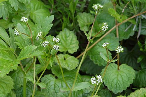 Valerianella locusta f. carinata - mâche carénée Doucet10