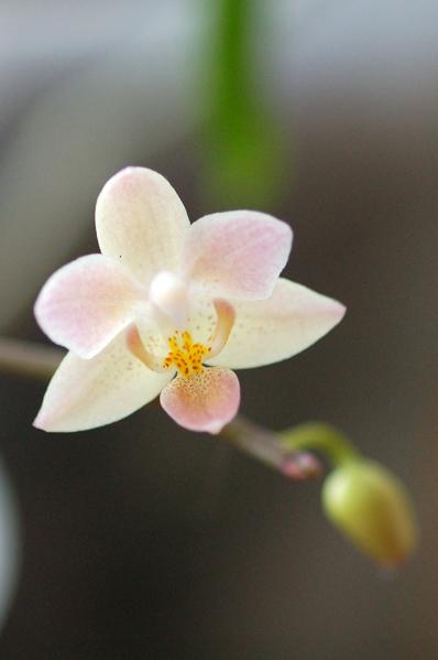 Phalaenopsis equestris 'Orange' Equest10