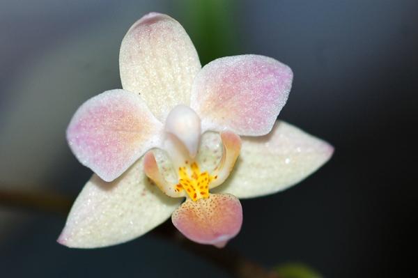 Phalaenopsis equestris 'Orange' Equest12