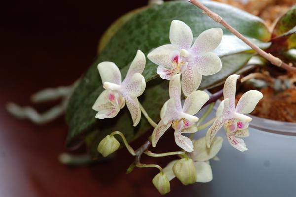 Phalaenopsis mannandra Mannan11