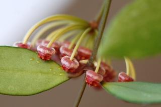 Hoya linearis Memo10