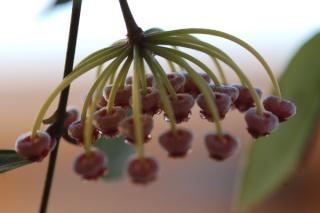 Hoya linearis Memori10