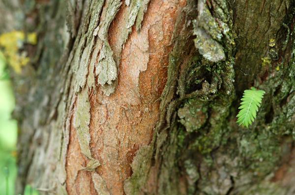 Ecorces d'arbres  Metase11