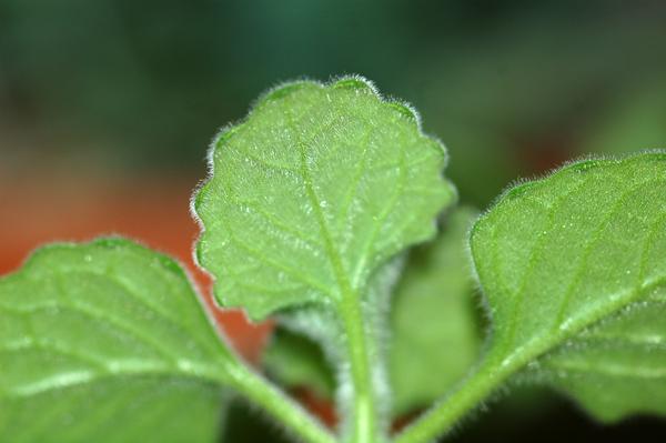 Plectranthus socotranus Plectr10