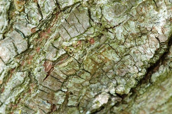 Ecorces d'arbres  Saule_10