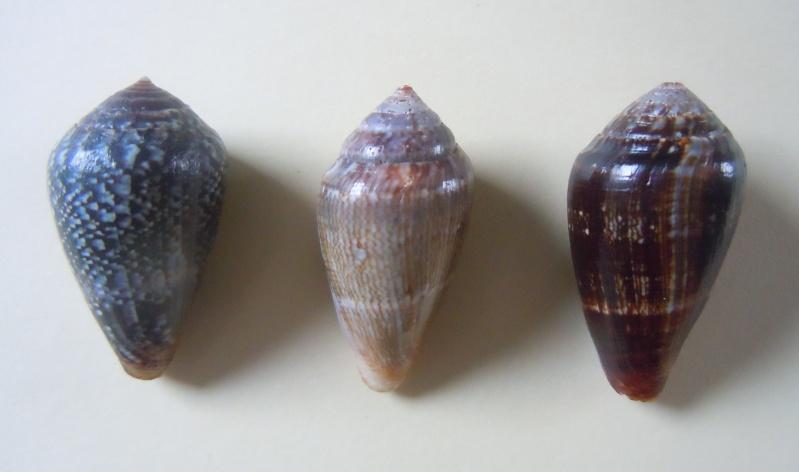 Conus (Lautoconus) hybridus - Kiener, 1847 Dscn3623