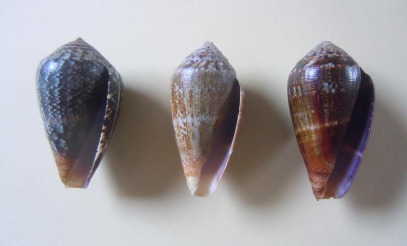 Conus (Lautoconus) hybridus - Kiener, 1847 Dscn3624