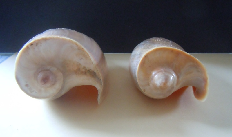 Cymbium cymbium - (Linnaeus, 1758) Dscn3633