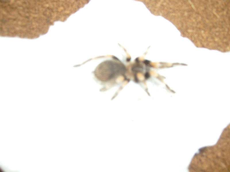 New mexican red knee female 001_210