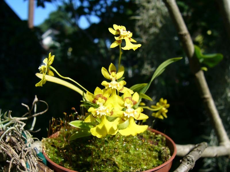 Miniatur- Orchideen - Seite 2 Onc_co10