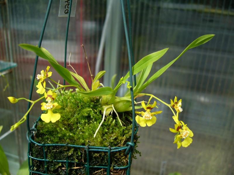 Miniatur- Orchideen - Seite 2 Onc_co11