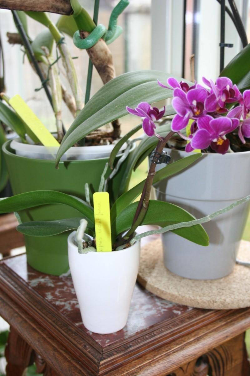 mini Phalaenopsis...opération sauvetage Img_5145