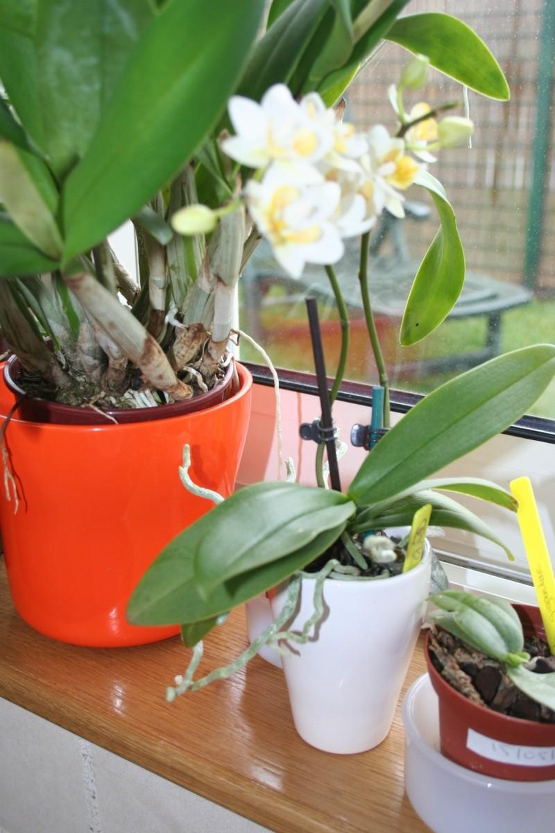 mini Phalaenopsis...opération sauvetage Img_5146
