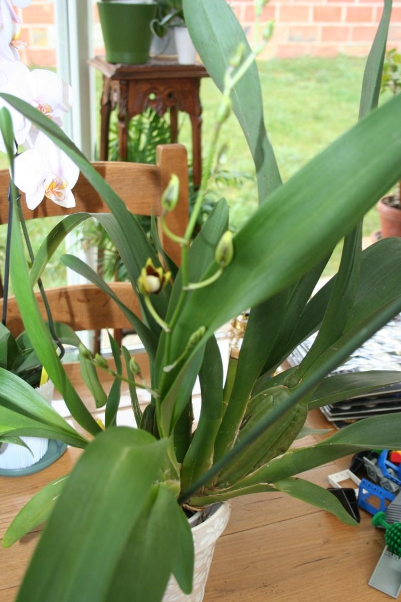 odontoglossum Colmanara Jungle Monarck Img_5322