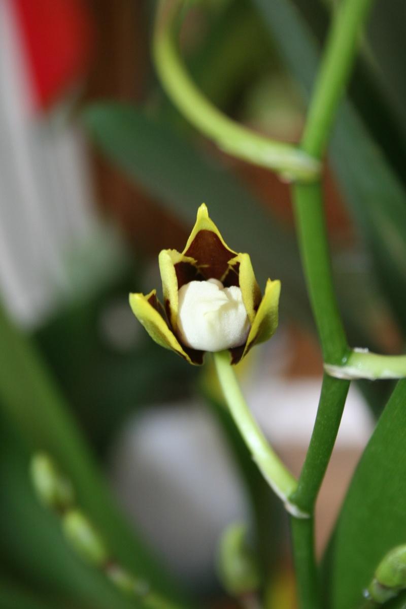 odontoglossum Colmanara Jungle Monarck Img_5323