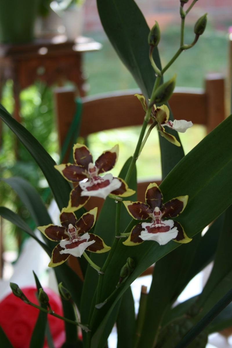 odontoglossum Colmanara Jungle Monarck Img_5449