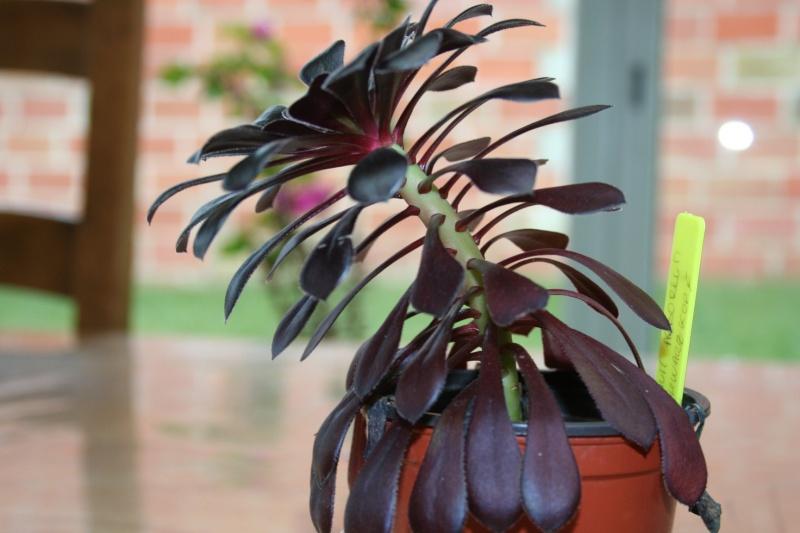aeonium arboreum schwarzkopf Img_5451