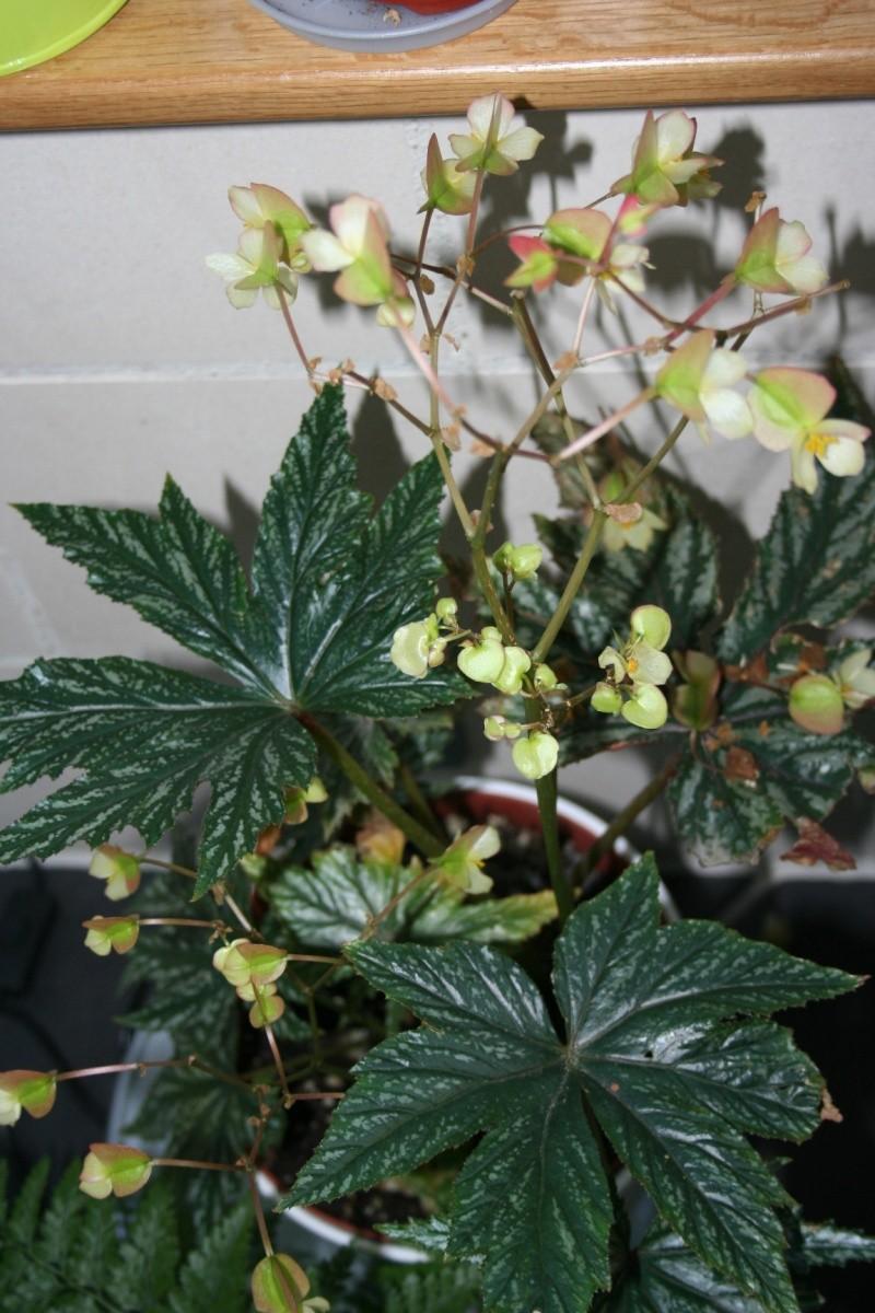 bégonia griffon Img_5522