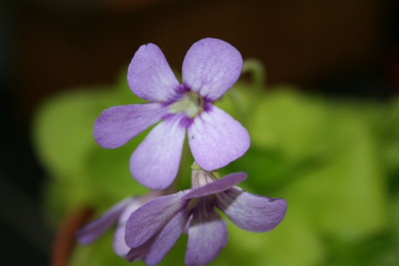 une belle carnivore , le pinguicula Img_5534