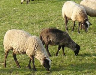bêêê... les brebis, moutons et autres ovins Bee210