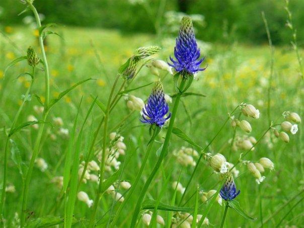 Balades dans le vert Cantal Bleuet10