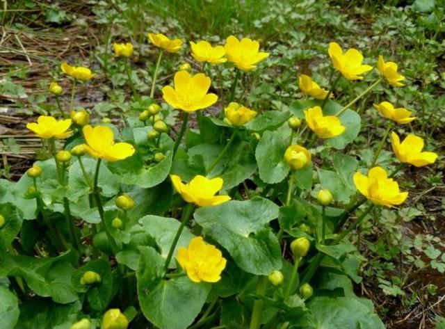 Caltha palustris - caltha des marais, populage  Boutor10