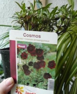 Cosmos atrosanguinea - cosmos tubéreux - Page 2 Cosmos10