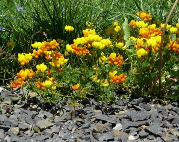 flore des landes granitiques ou volcaniques Genet10