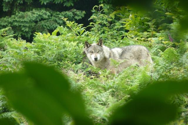 les visiteurs à poils Loup10