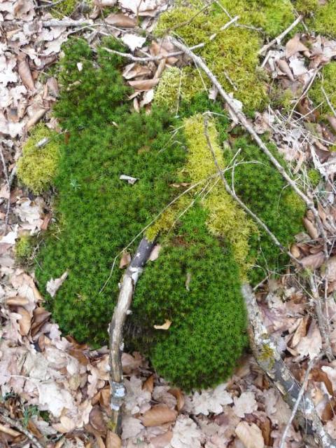 mousses et lichens [verrouillé] - Page 2 Mousse10