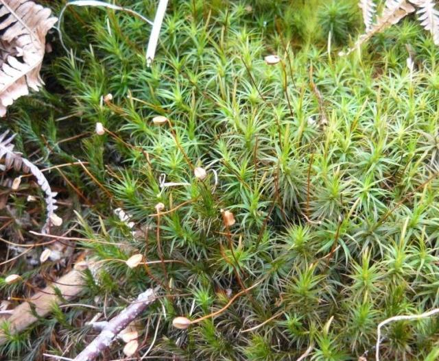 mousses et lichens [verrouillé] - Page 2 Mousse11