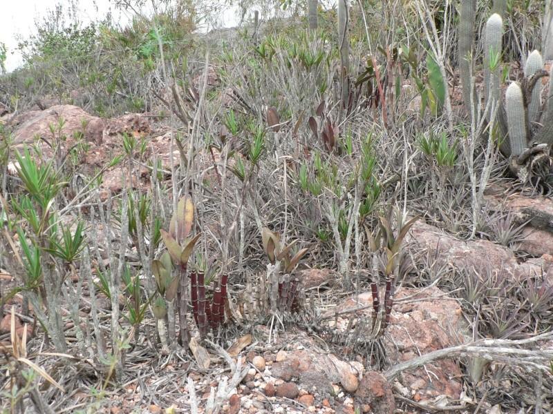 Cattleya elongata P1070210