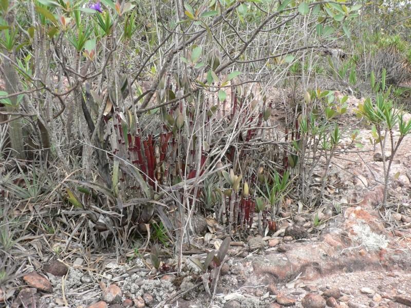 Cattleya elongata P1070213